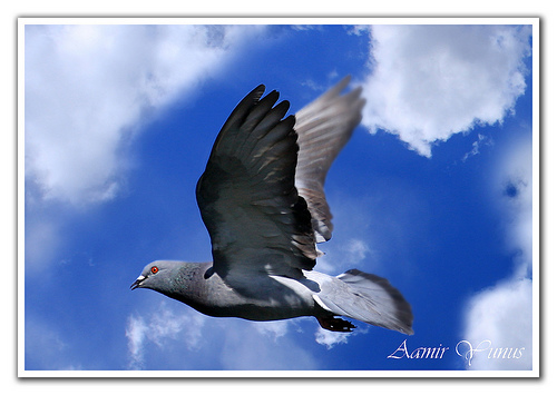 a-flying-pigeon